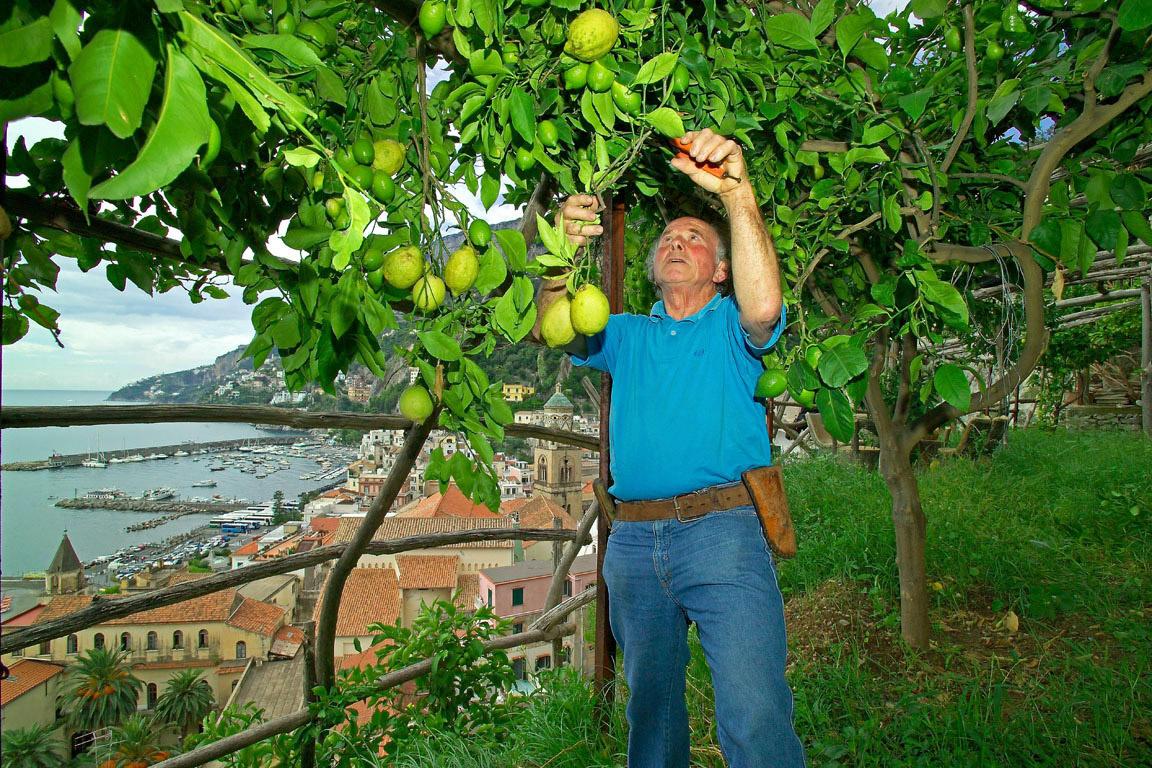 Limone Costa d'Amalfi IGP foto-12
