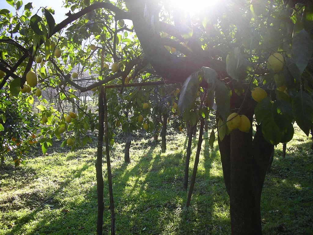 Limone Costa d'Amalfi IGP foto-6