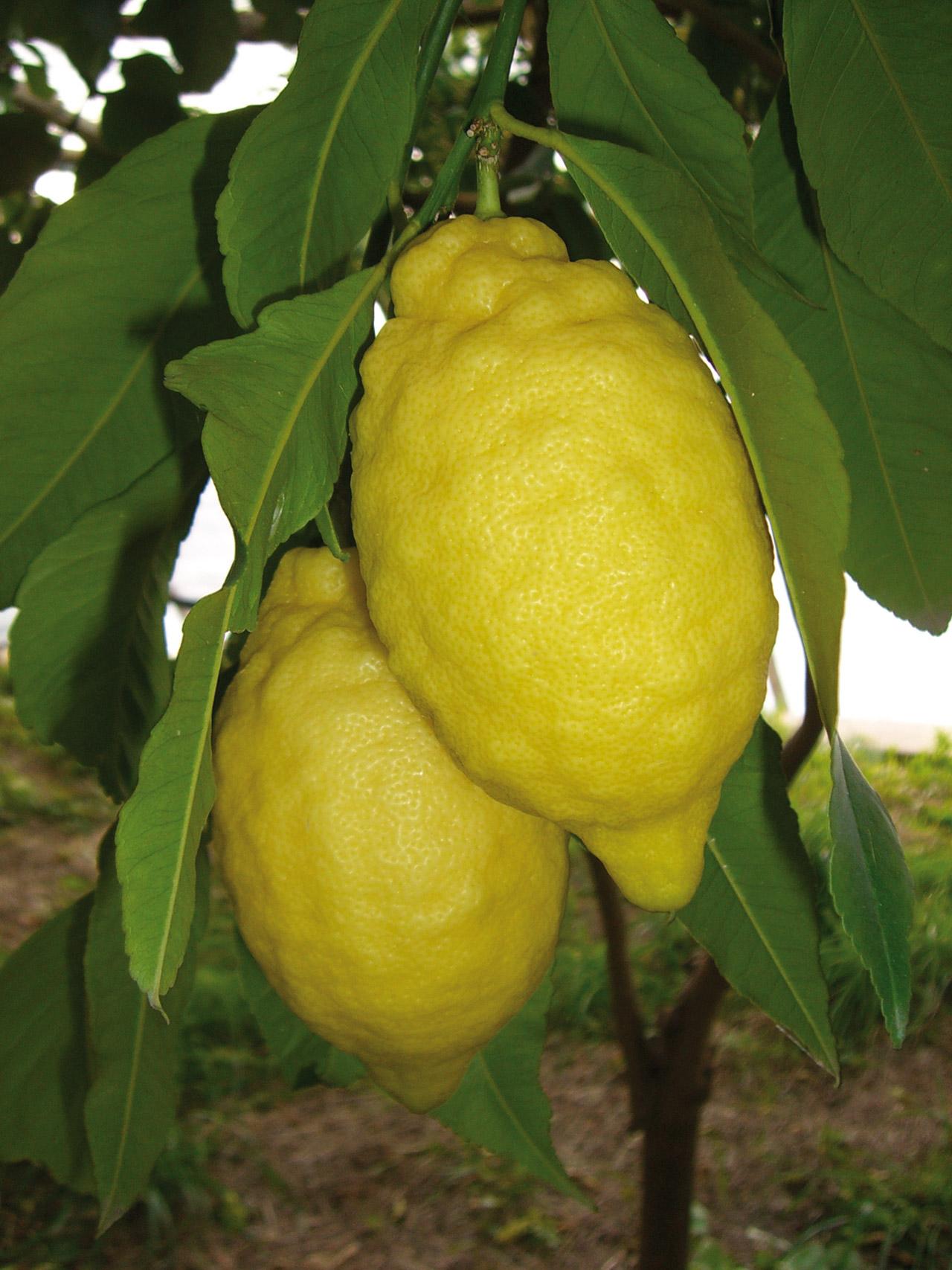 Limone Costa d'Amalfi IGP foto-3