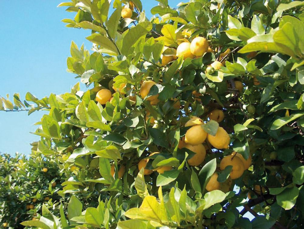Limone Femminello del Gargano IGP foto-2