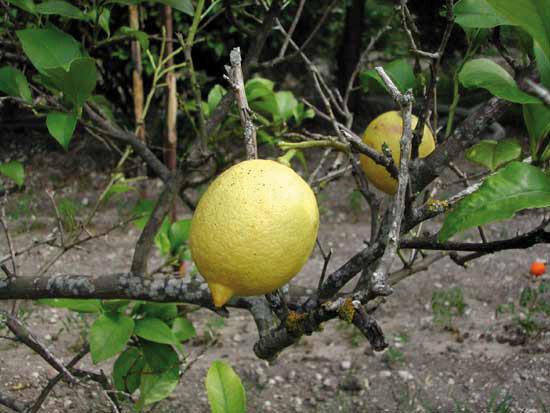 Limone Femminello del Gargano IGP foto-3