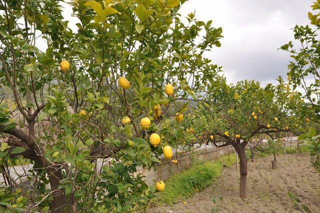 Limone Interdonato Messina IGP foto-5