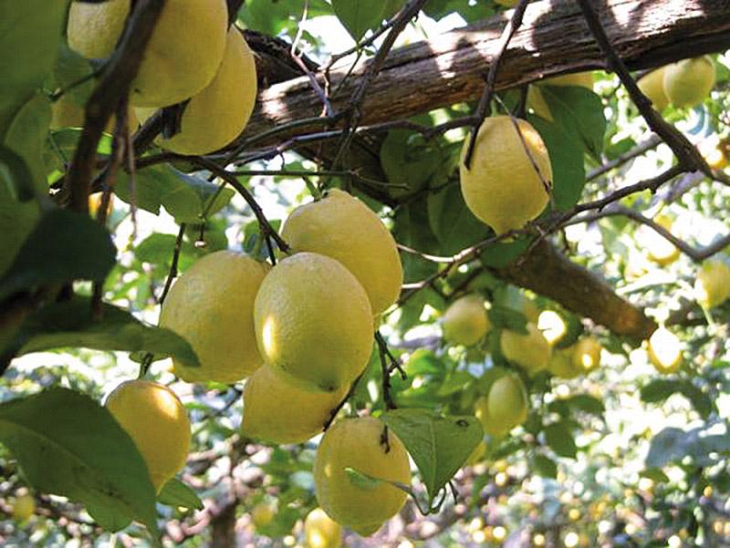 Limone di Sorrento IGP foto-3