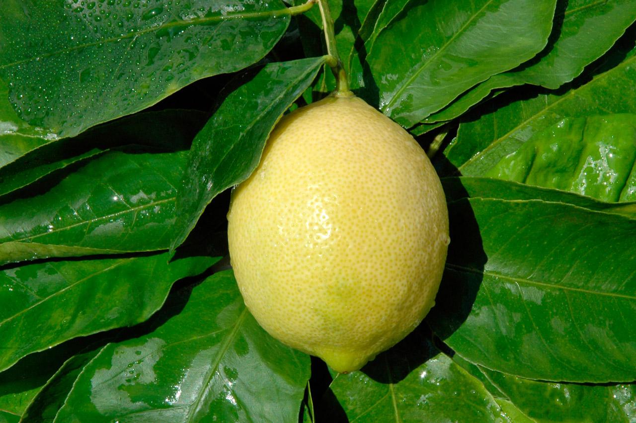 Limone di Sorrento IGP foto-2