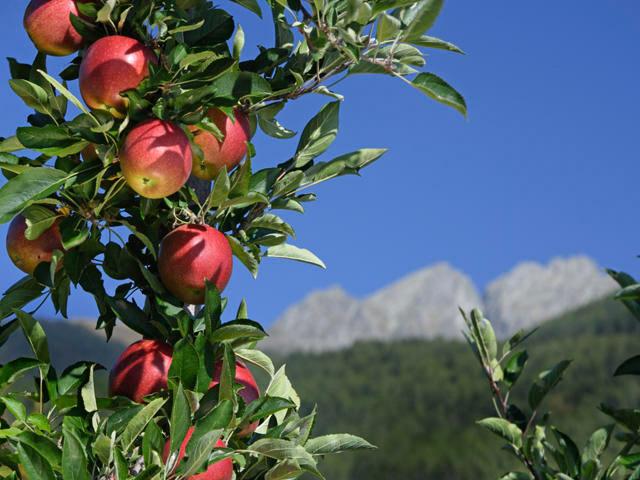 Mela Alto Adige IGP foto-3