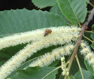Miele della Lunigiana DOP foto-12