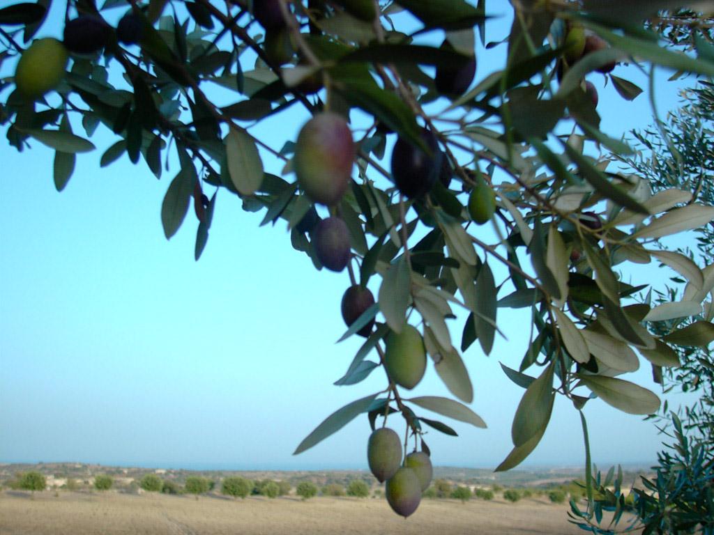 Monti Iblei DOP – Olio EVO foto-9