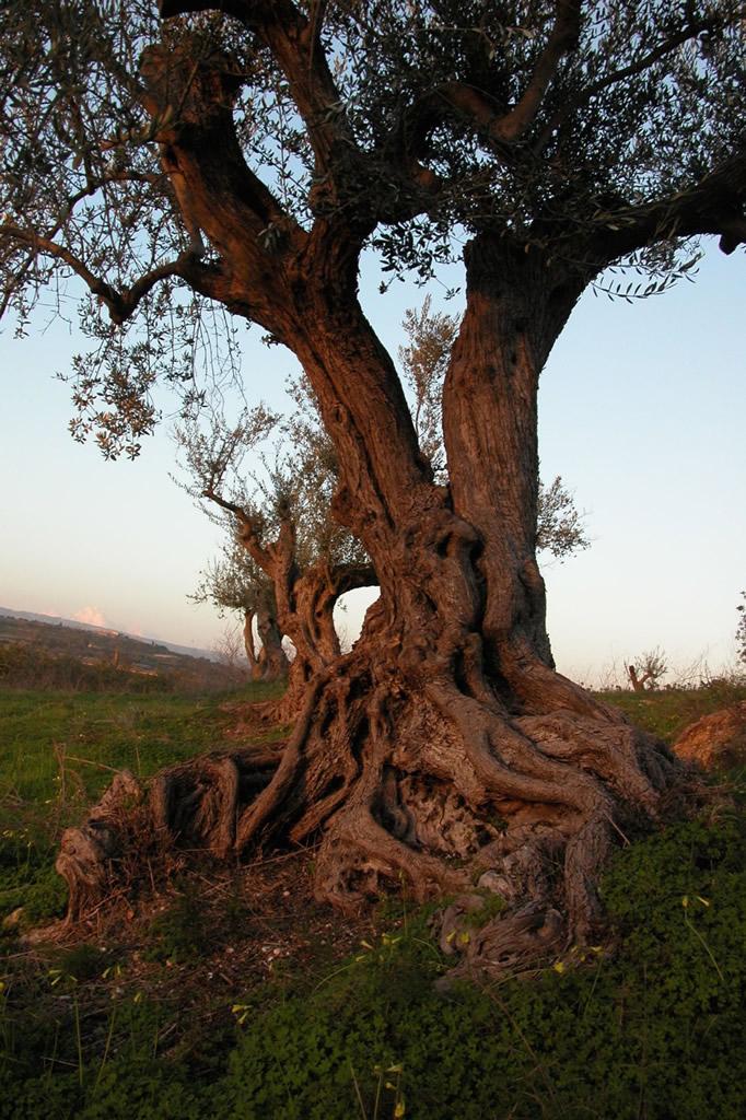 Monti Iblei DOP – Olio EVO foto-15
