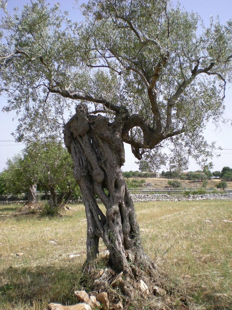 Monti Iblei DOP – Olio EVO foto-13