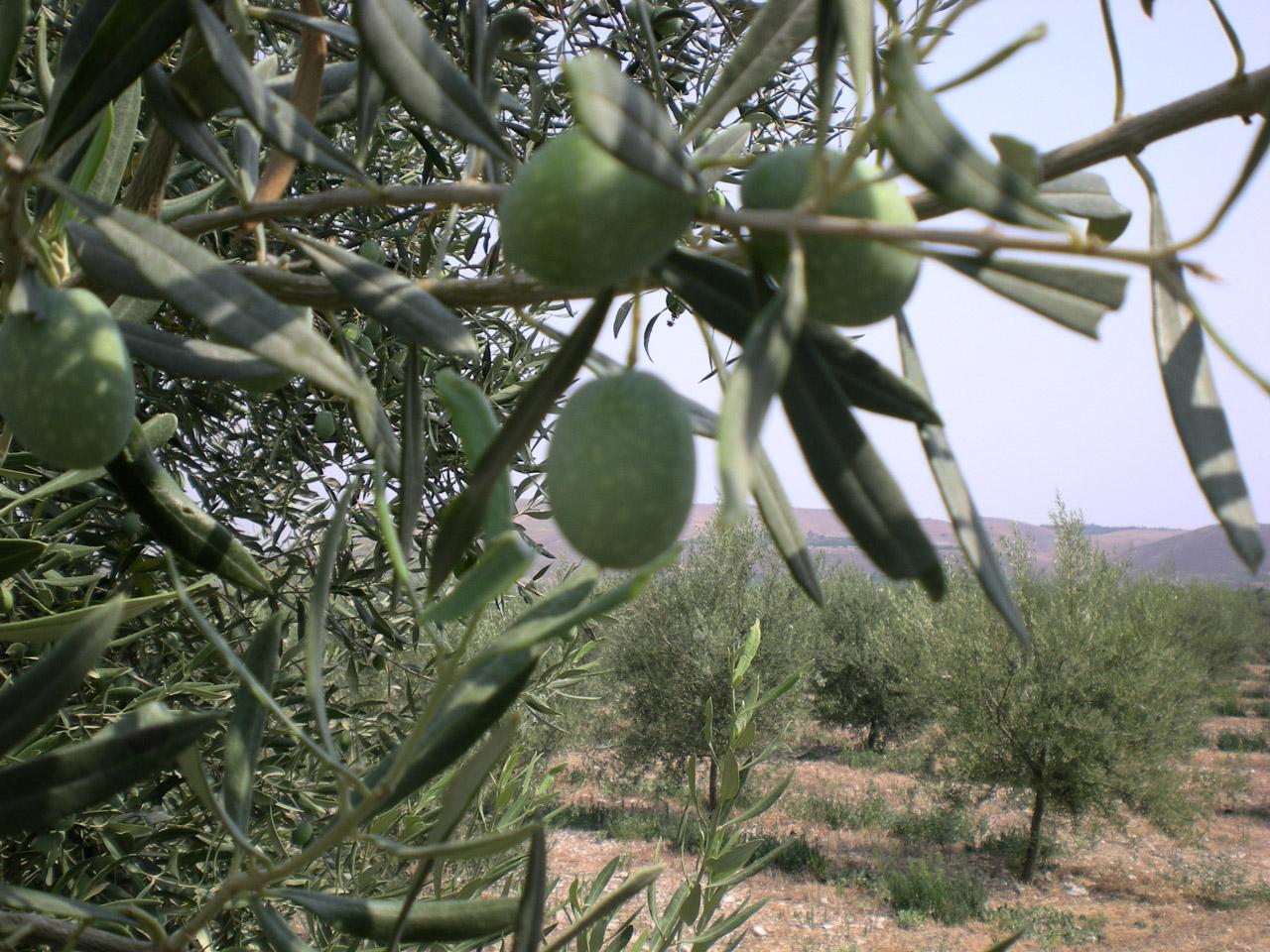 Monti Iblei DOP – Olio EVO foto-10