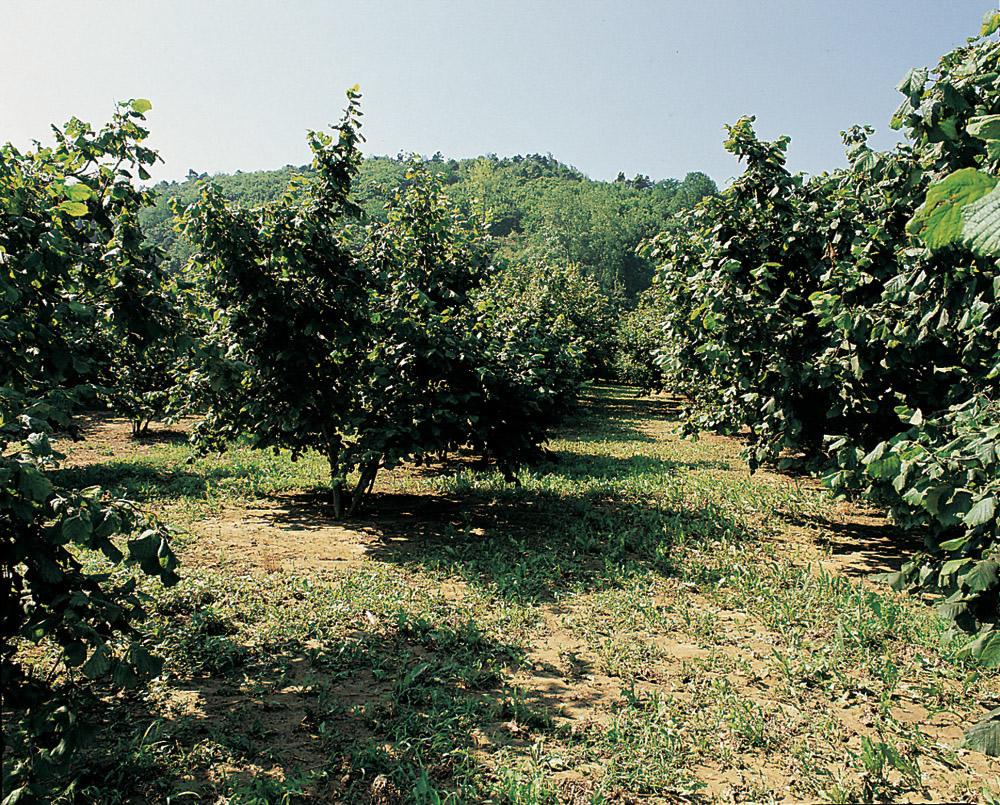 Nocciola del Piemonte IGP foto-5