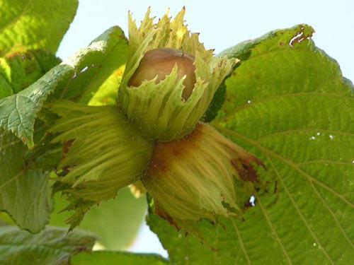Nocciola del Piemonte IGP foto-3