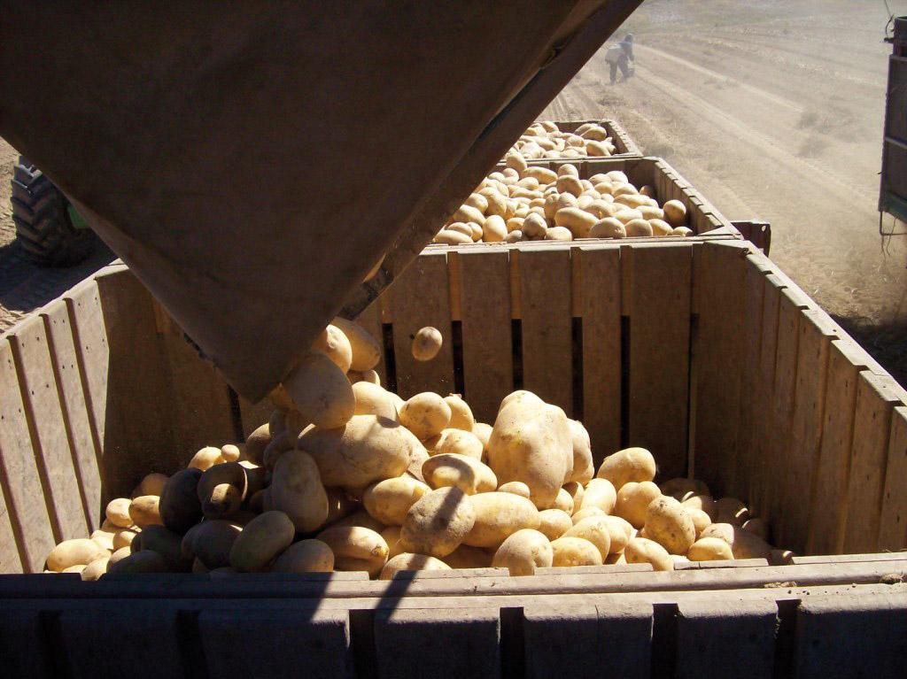 Patata della Sila IGP foto-5
