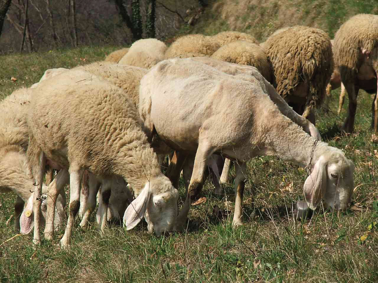 Pecorino Siciliano DOP foto-15