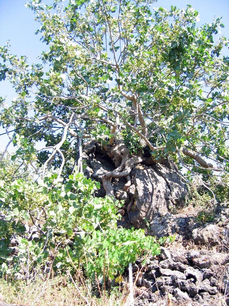 Pistacchio Verde di Bronte DOP foto-18