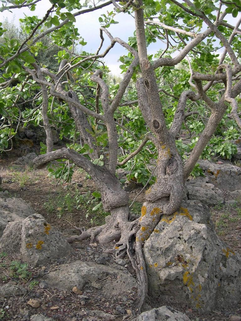 Pistacchio Verde di Bronte DOP foto-17