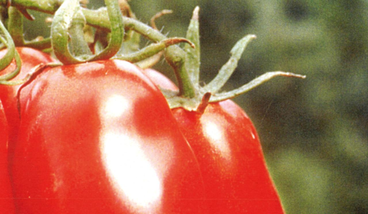 Pomodoro San Marzano dell'Agro Sarnese-Nocerino DOP foto-2