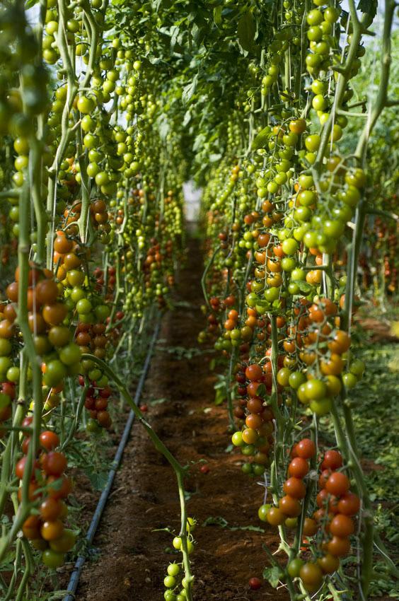 Pomodoro di Pachino IGP foto-6