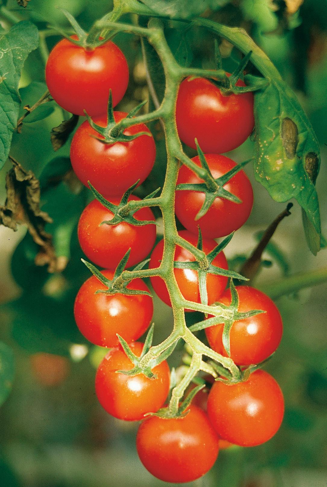 Pomodoro di Pachino IGP foto-4