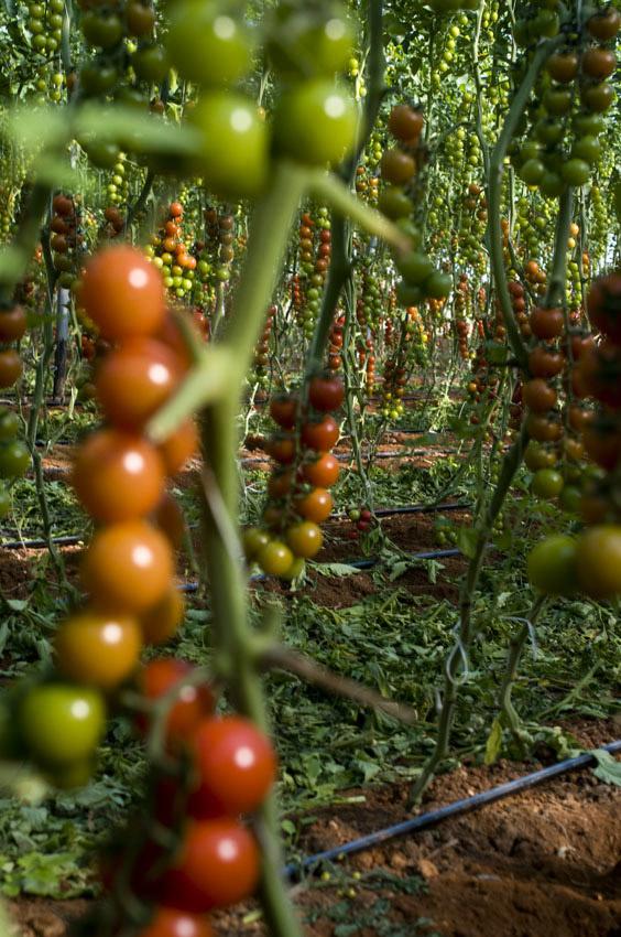 Pomodoro di Pachino IGP foto-5