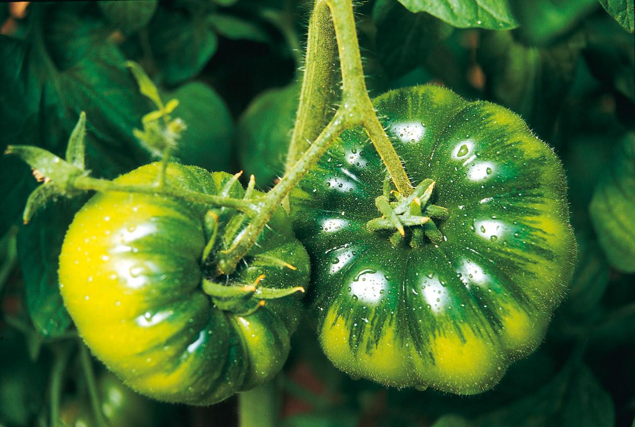 Pomodoro di Pachino IGP foto-7