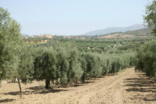 Sardegna DOP – Olio EVO foto-2