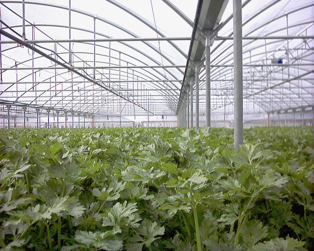 Sedano Bianco di Sperlonga IGP foto-6
