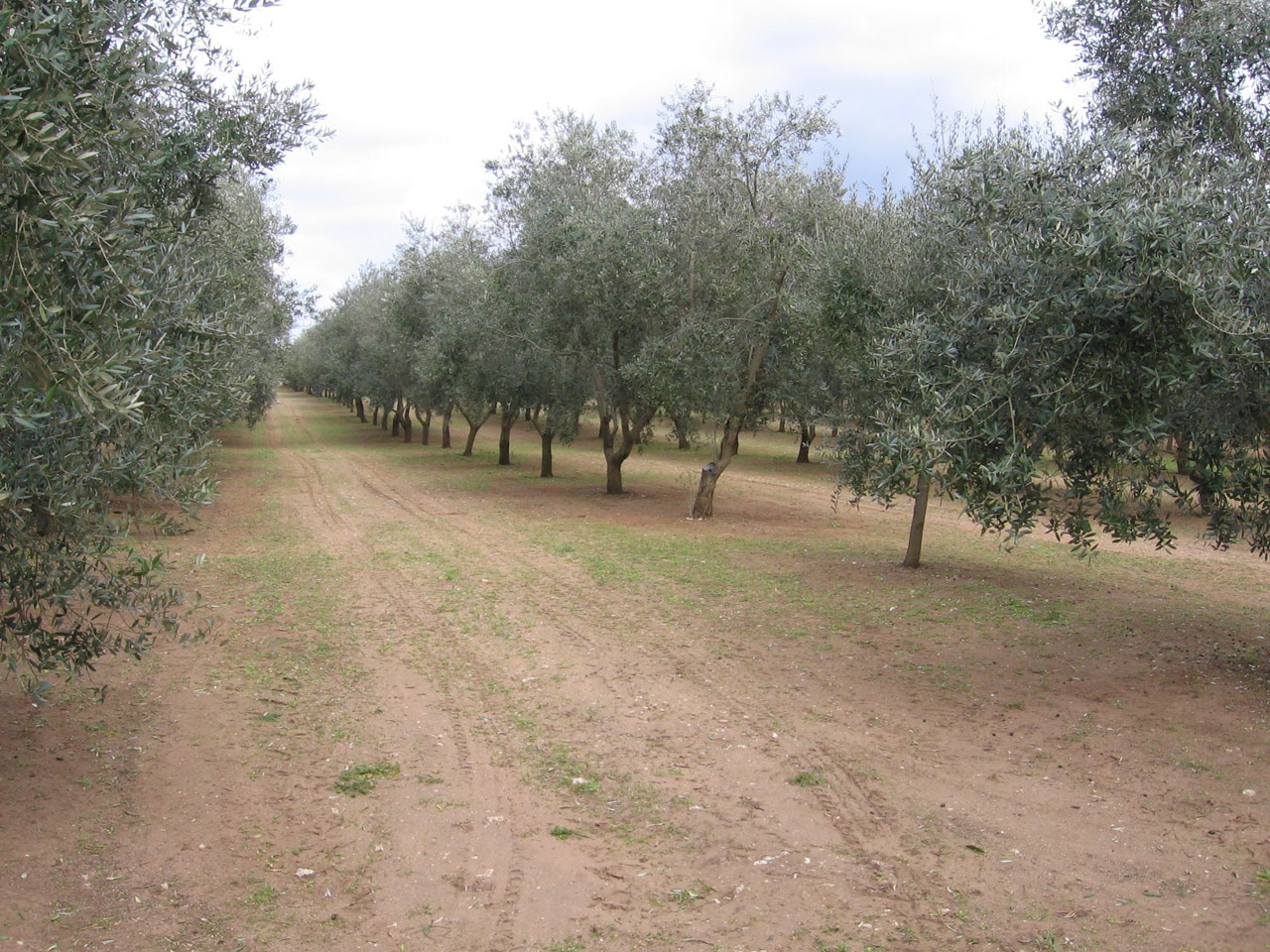 Terra d'Otranto DOP – Olio EVO foto-2