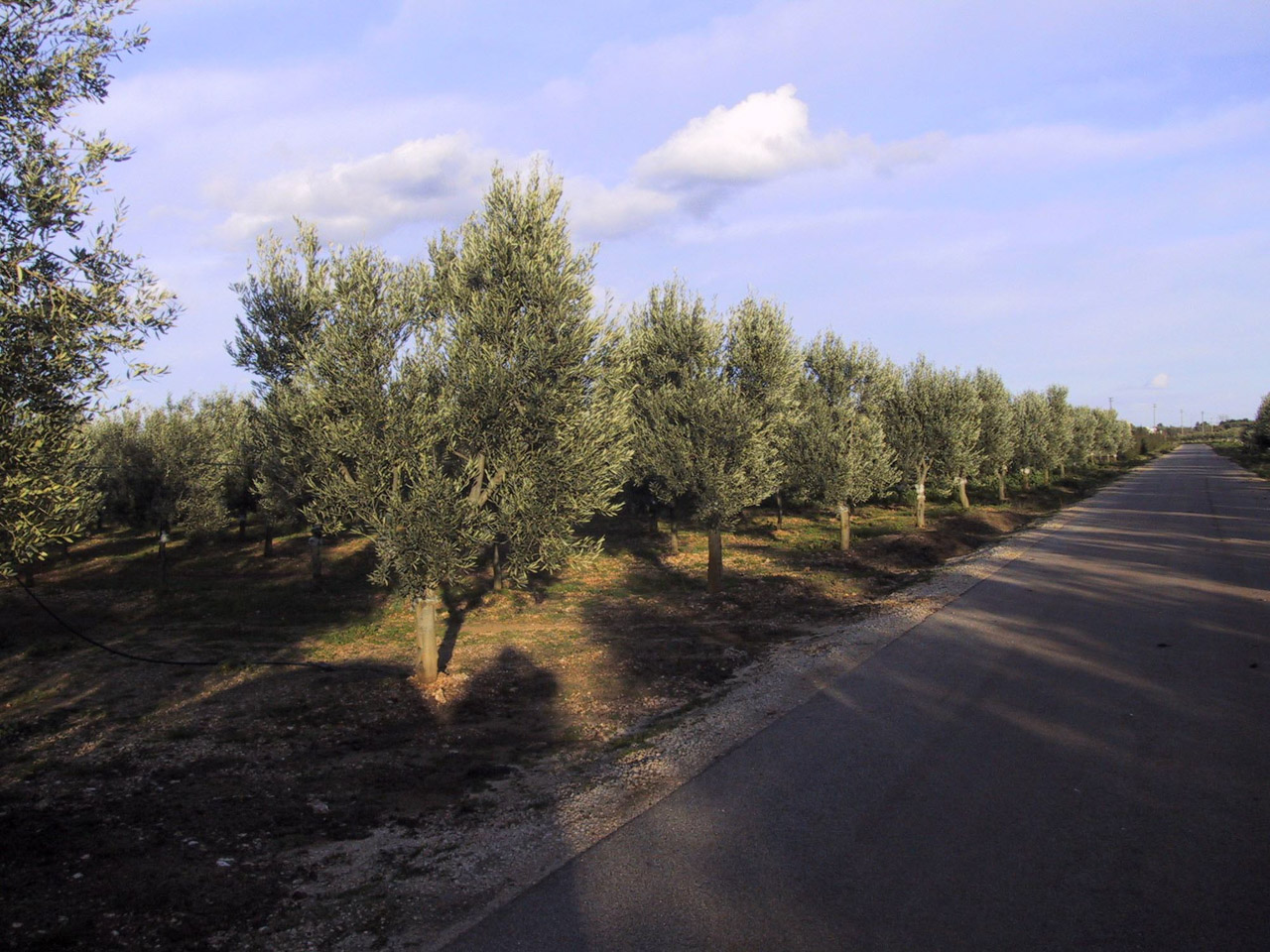 Terra d'Otranto DOP – Olio EVO foto-3