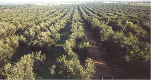 Terra d'Otranto DOP – Olio EVO foto-6