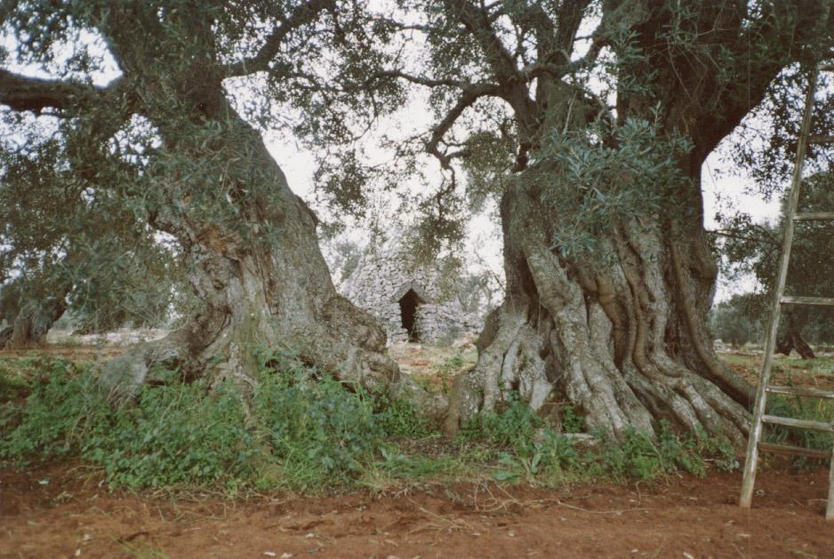 Terra d'Otranto DOP – Olio EVO foto-5