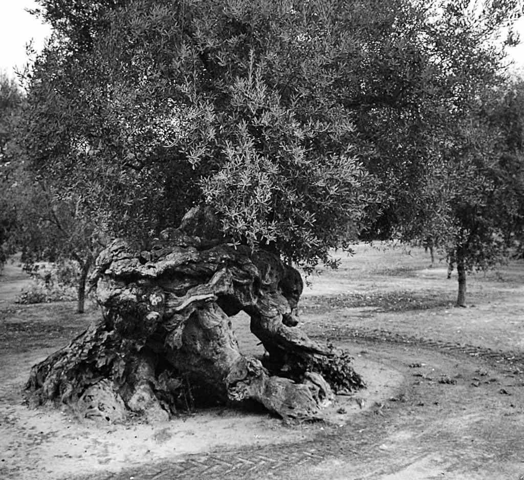 Terra d'Otranto DOP – Olio EVO foto-13