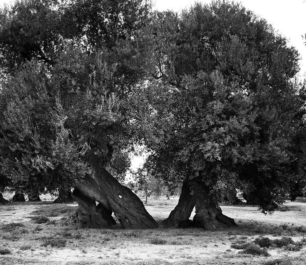 Terra d'Otranto DOP – Olio EVO foto-14