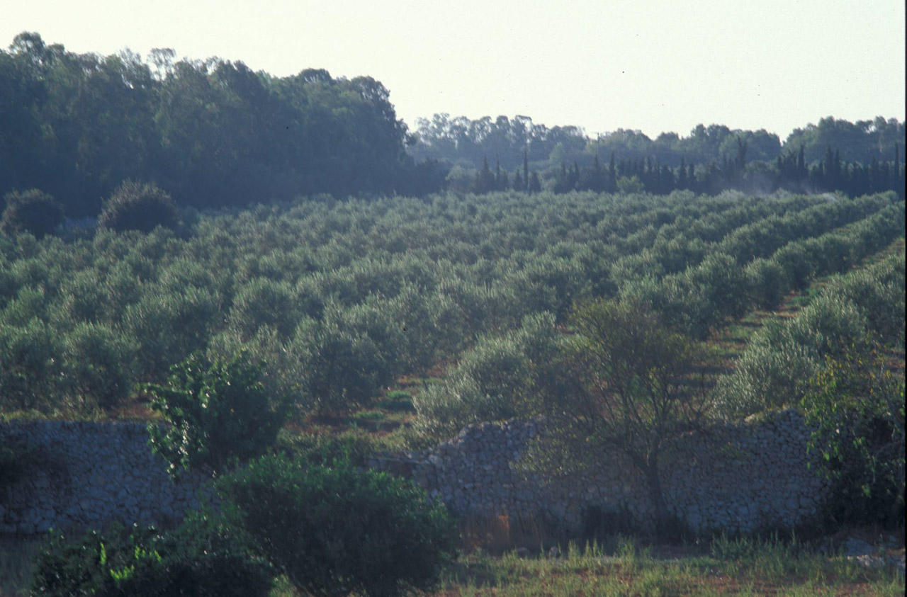 Terra d'Otranto DOP – Olio EVO foto-7