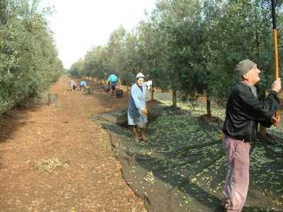 Terra d'Otranto DOP – Olio EVO foto-4