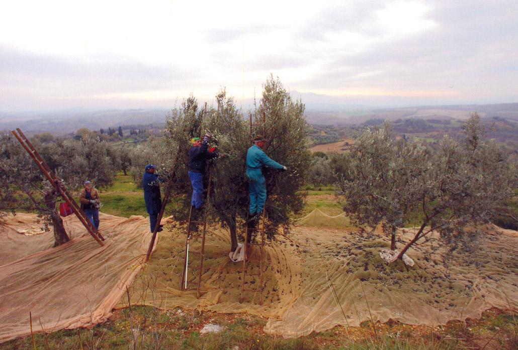 Terre di Siena DOP – Olio EVO foto-6