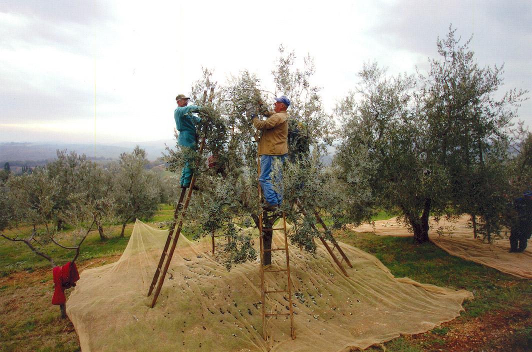 Terre di Siena DOP – Olio EVO foto-7