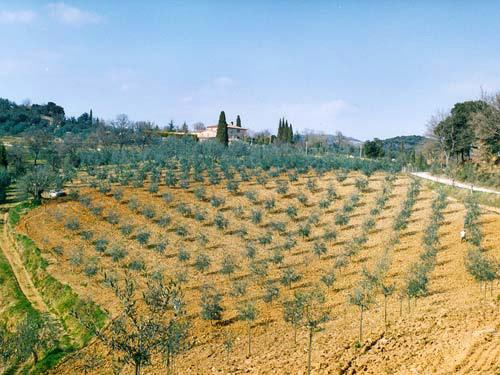 Terre di Siena DOP – Olio EVO foto-3
