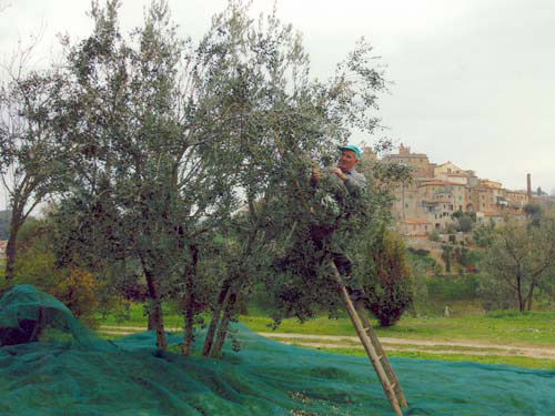 Terre di Siena DOP – Olio EVO foto-10