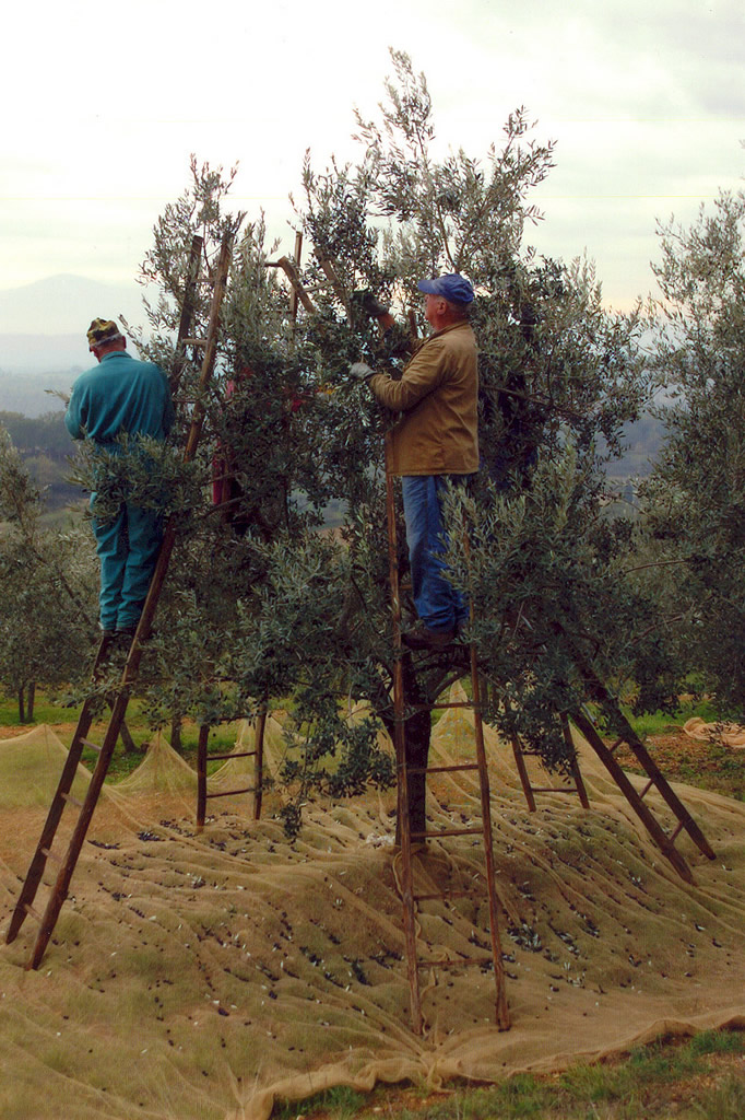 Terre di Siena DOP – Olio EVO foto-8