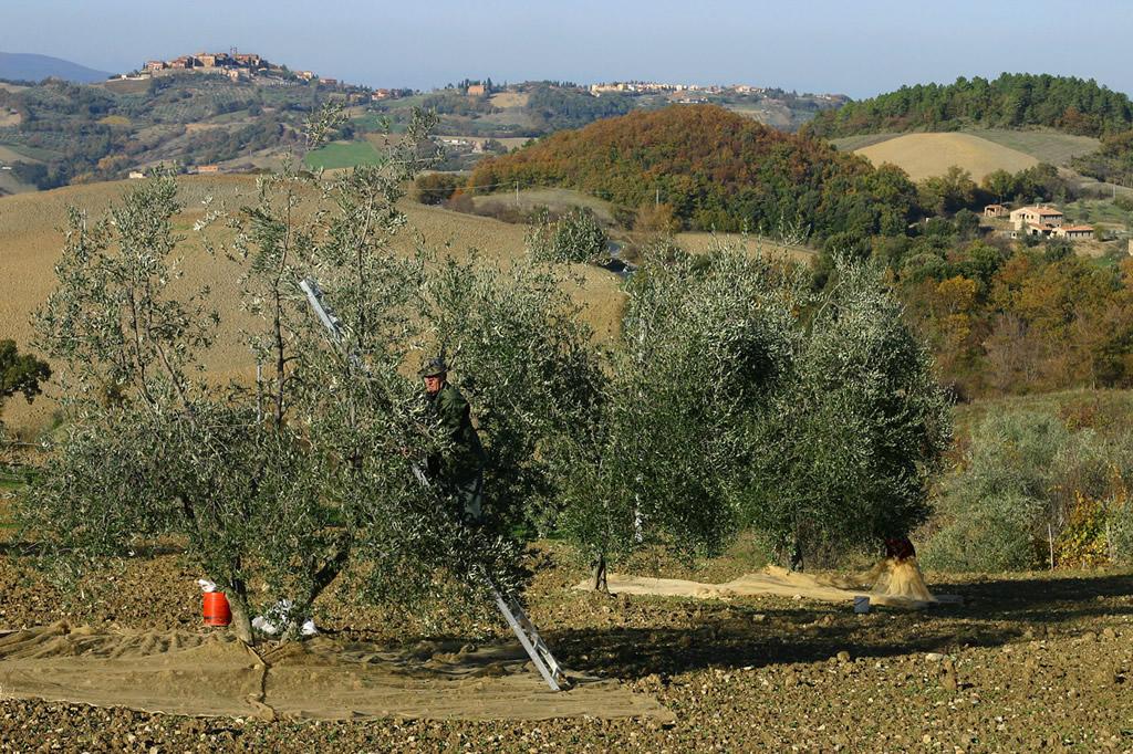 Terre di Siena DOP – Olio EVO foto-9
