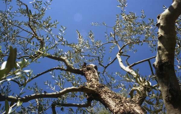 Toscano IGP – Olio EVO foto-7
