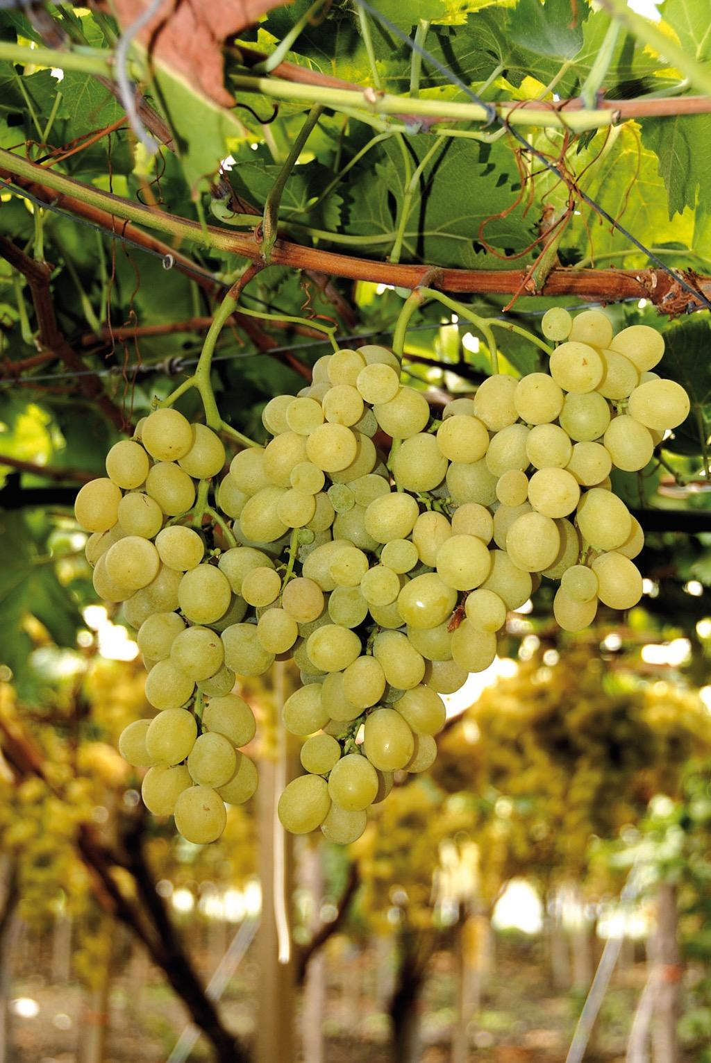 Uva da Tavola di Canicattì IGP foto-3