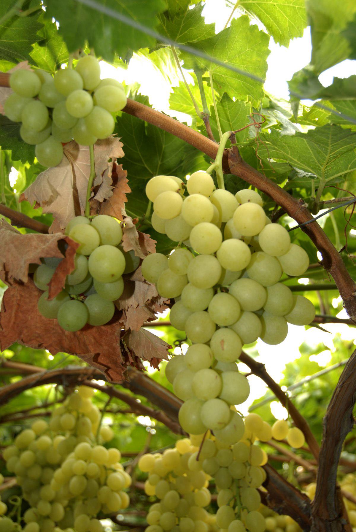 Uva da Tavola di Canicattì IGP foto-4