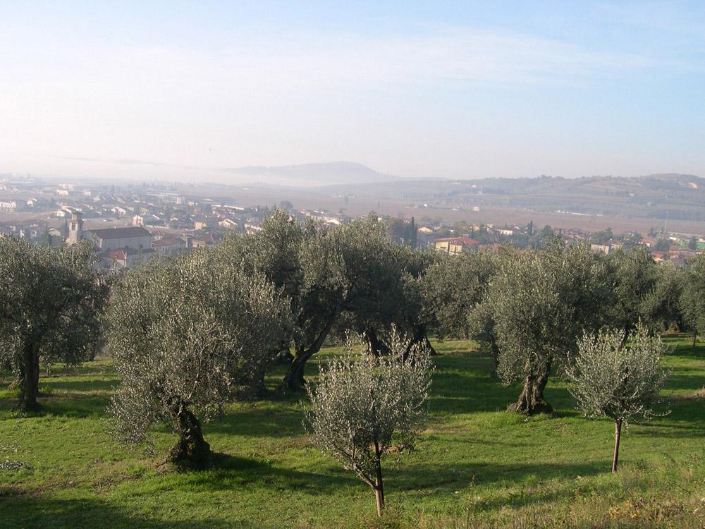 Veneto Valpolicella, Veneto Euganei e Berici, Veneto del Grappa DOP – Olio EVO foto-4