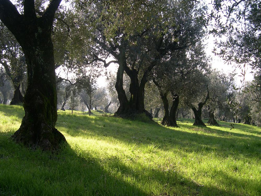 Veneto Valpolicella, Veneto Euganei e Berici, Veneto del Grappa DOP – Olio EVO foto-5