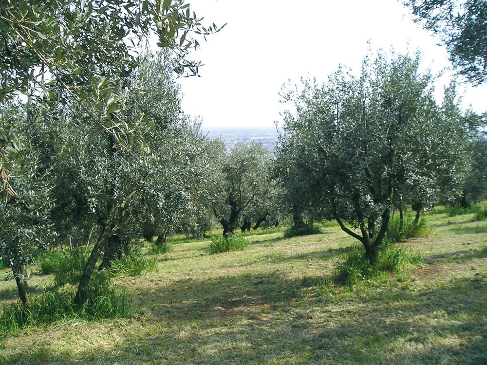 Veneto Valpolicella, Veneto Euganei e Berici, Veneto del Grappa DOP – Olio EVO foto-6