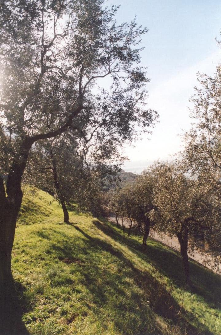 Veneto Valpolicella, Veneto Euganei e Berici, Veneto del Grappa DOP – Olio EVO foto-3
