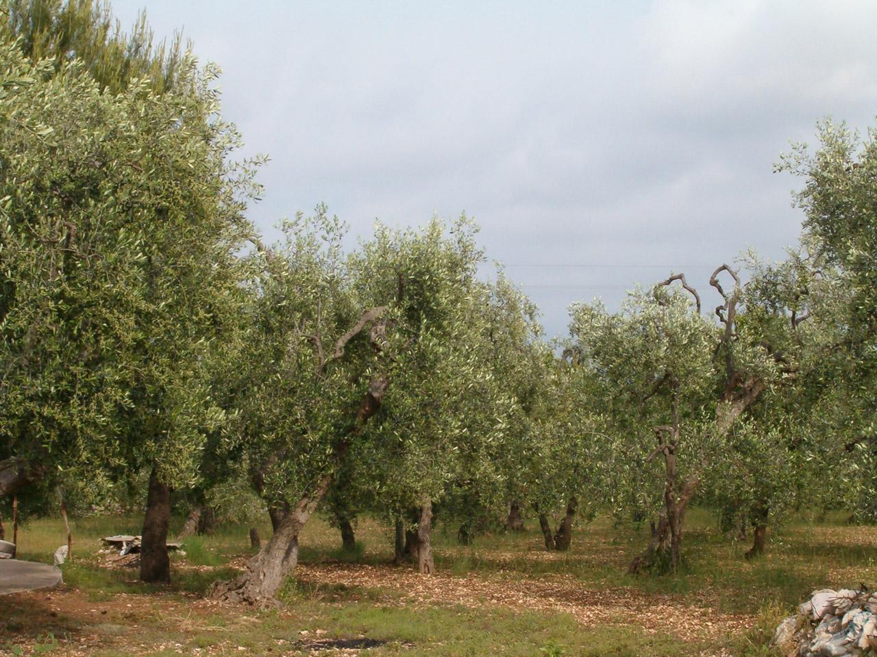 Terra di Bari DOP – Olio EVO foto-2