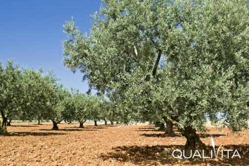 Huile d'olive de Provence DOP foto-1
